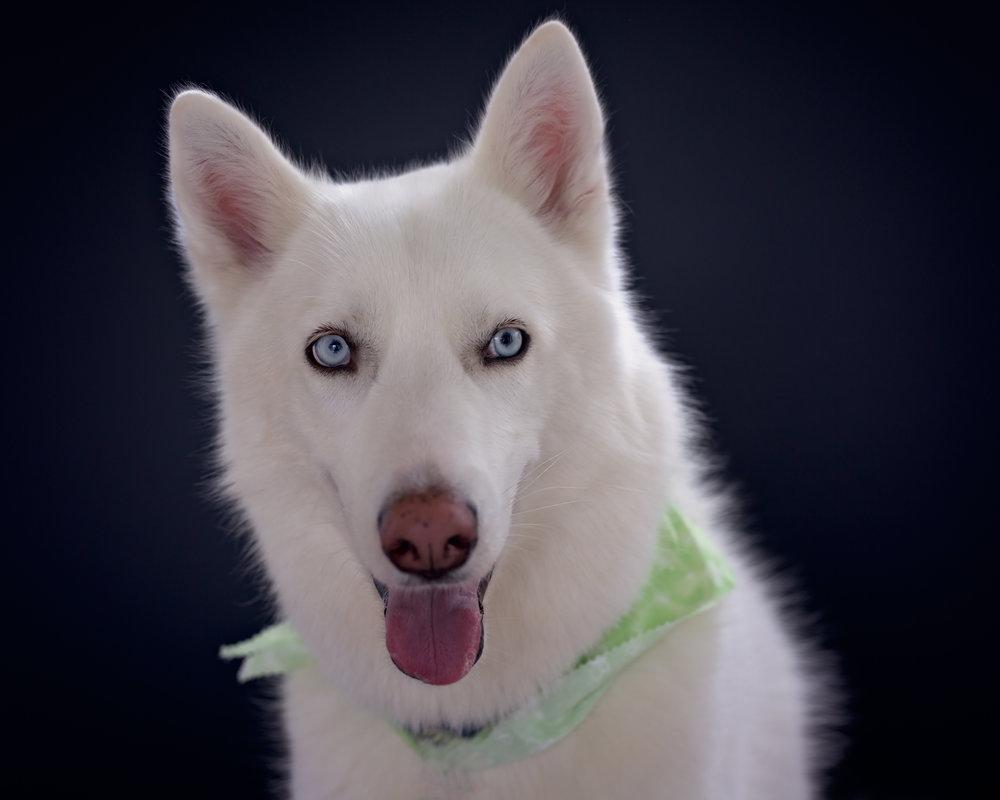 White husky- dog photo- studio style