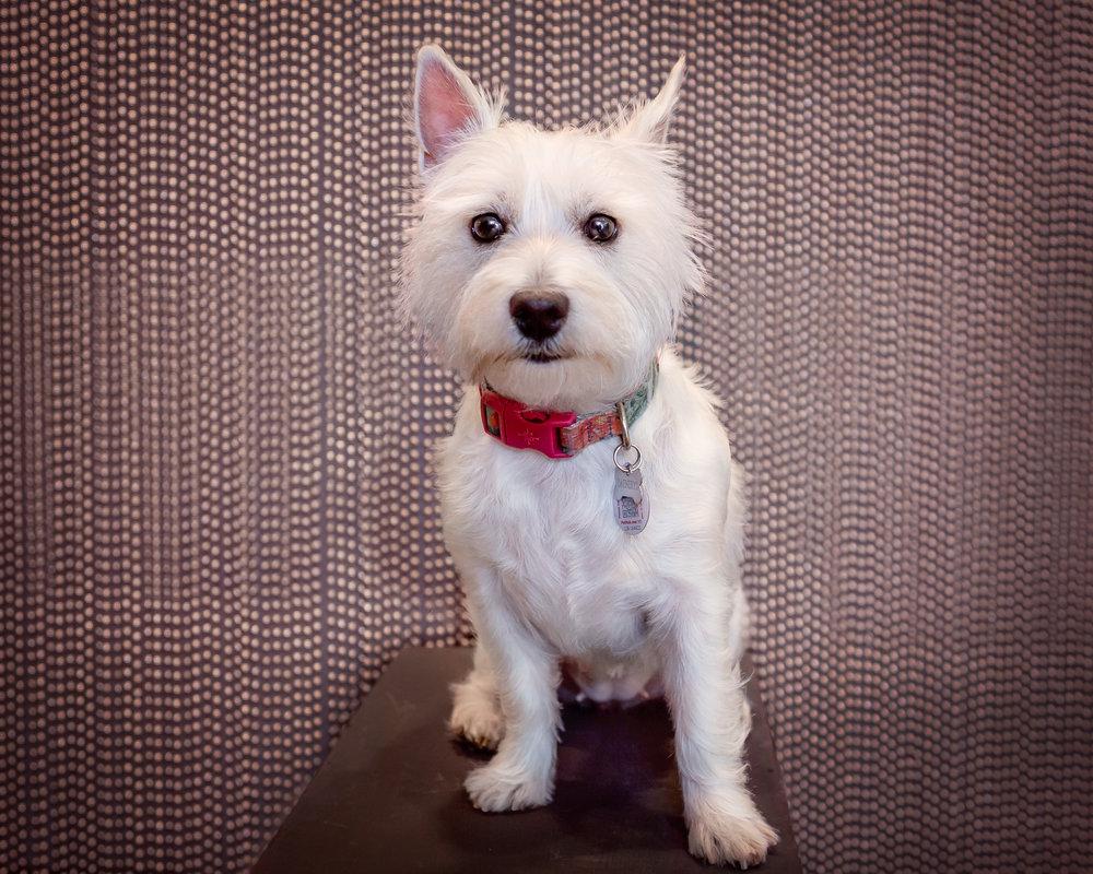 Small dog- studio photo