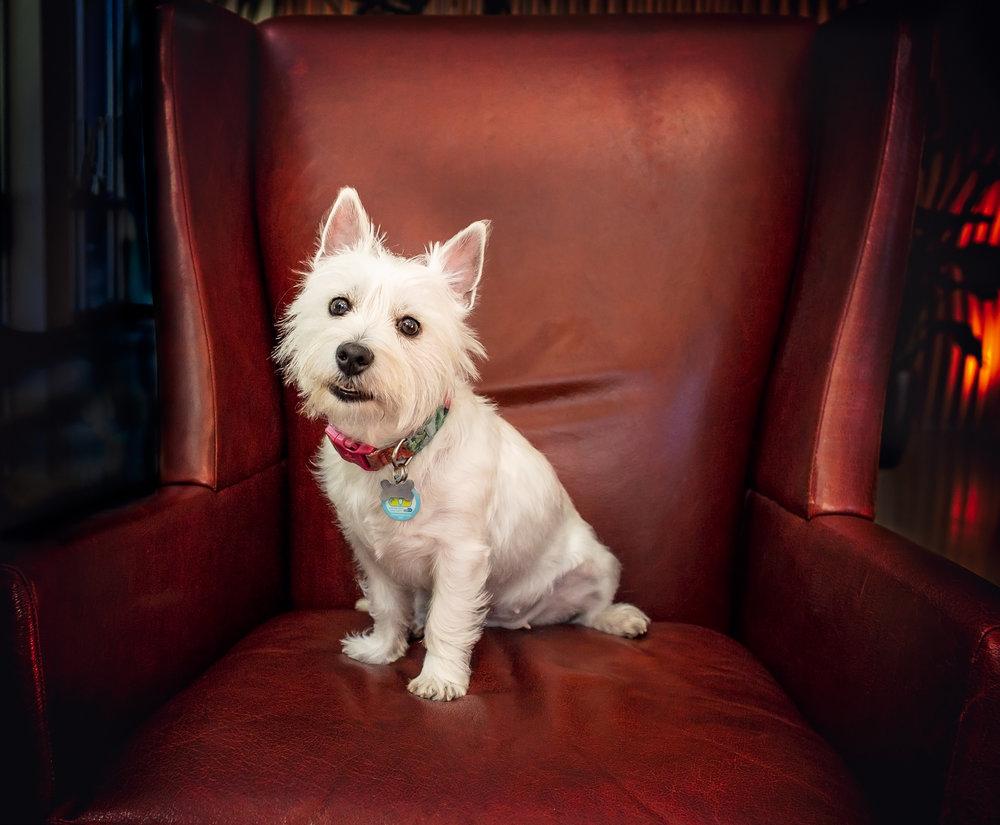 Studio photo- toy breed dog- holidays