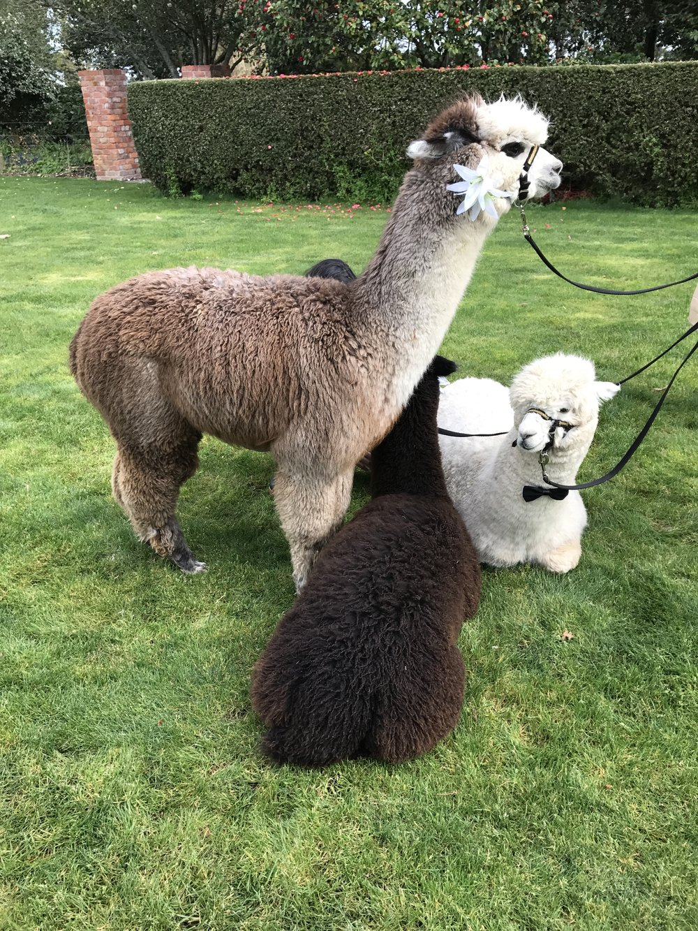 The alpacas were so cute and fluffy!