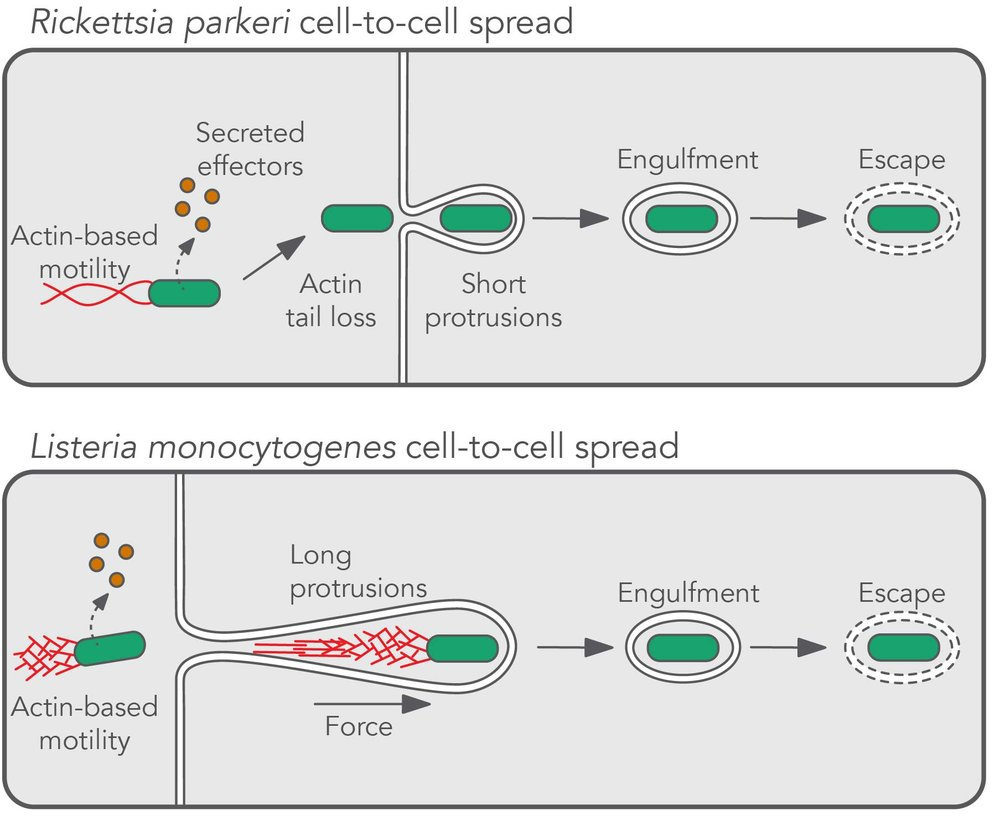R. parkeri  and  L. monocytogenes  rely on secreted proteins (effectors) and actin-based motility to promote spread. Interestingly, even though motility is needed for  R. parkeri  to get to the host cell junction, it loses its tail before a protrusion is formed. In the absence of these actin polymerization forces.  R. parkeri  induces short protrusions that are engulfed into double-membrane vesicles more rapidly than  L. monocytogenes . Given these striking morphological differences, we are excited to dissect the molecular underpinnings that govern each stage of spread.