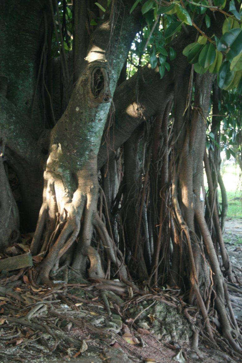 Brazil tree roots.jpg