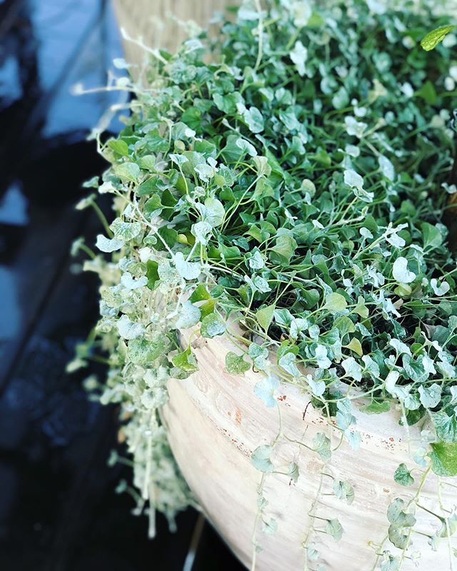 Dichondra Silver Falls is a striking, low maintenance plant with creeping stems that cascade down the side of your pot. The perfect plant if you are looking for something to underplant.