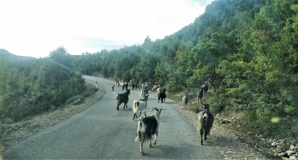 dangerous driving in the balkans animals on the road