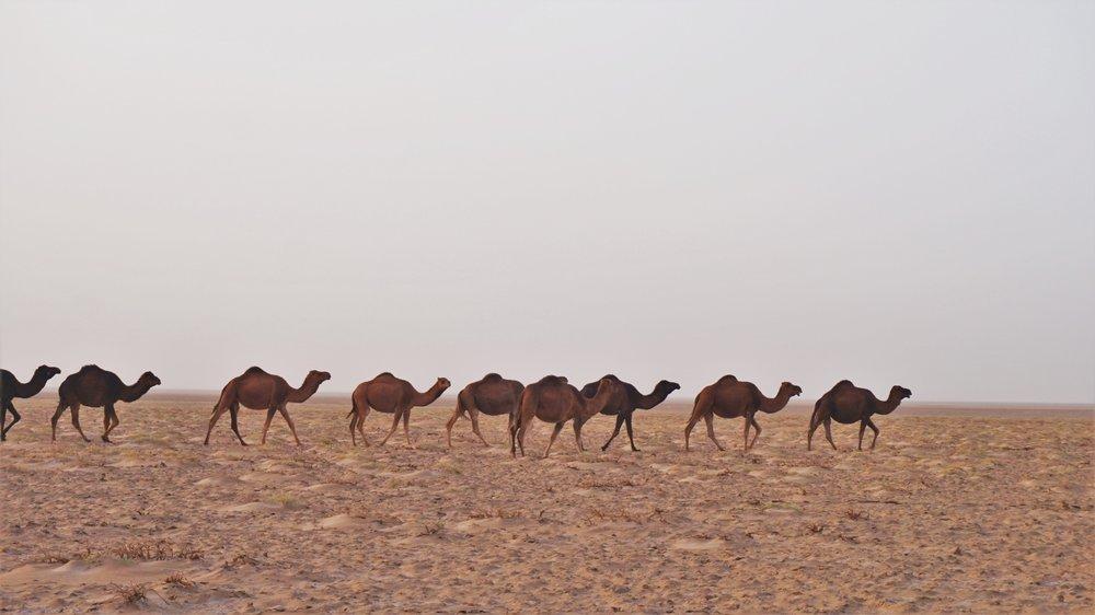 camels in iran desert trip