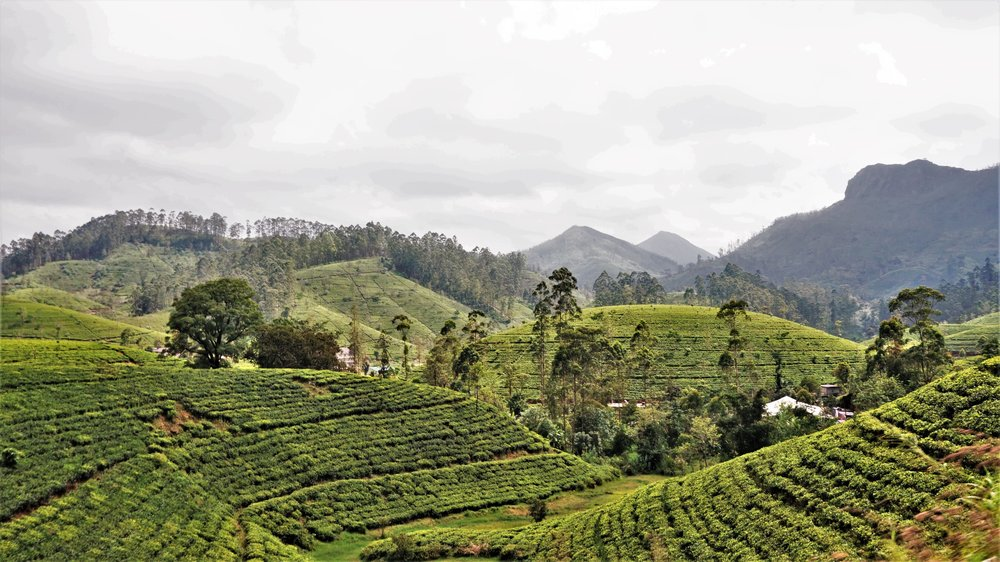 views over the tea fields in Sri Lanka, a must-see in Sri Lanka