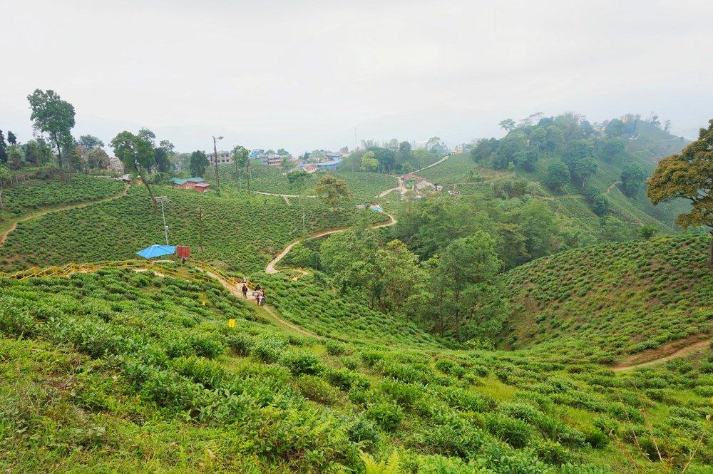 Tea plantation in Ilam, Nepal