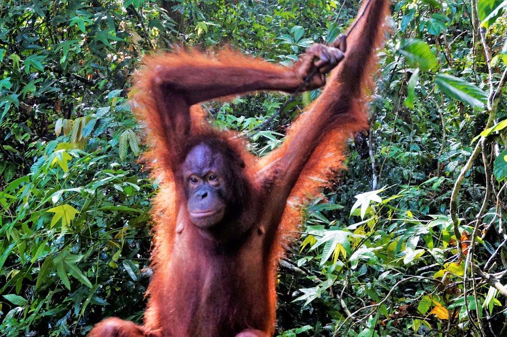 Visiting Sepilok Orangutan Sanctuary