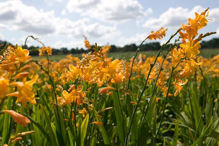 Blooming Bulb Geroge Davidson Crocosmia Bulbs