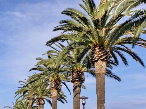 Real Palm Trees Canary Island Date Palm Tree