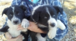 OUR BORDER COLLIE PUPS