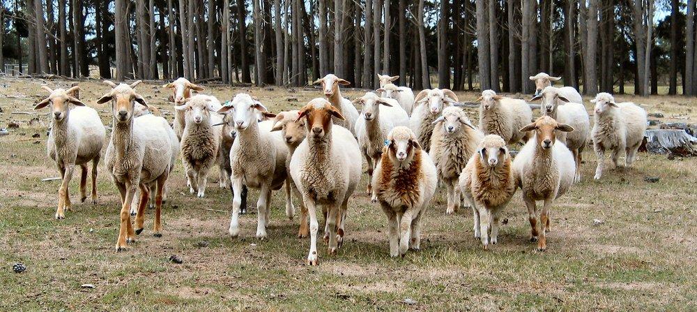 Awassi Sheep (credit Michael Trotter)