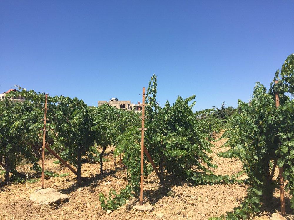 Cabernet Sauvignon Vines