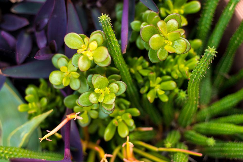20_Succulents_Cactus_Purple_Closeup_Business_EL.jpg