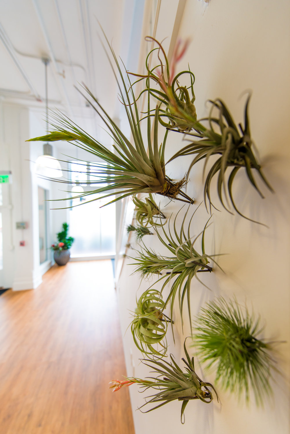 8_Tillandsia_on_wall_business_EL.jpg