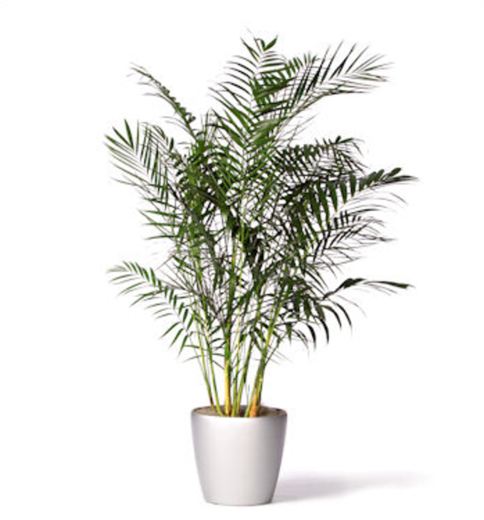 Bamboo_Palm.png