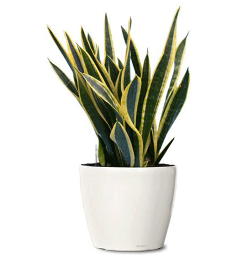 Snake_Plant.png