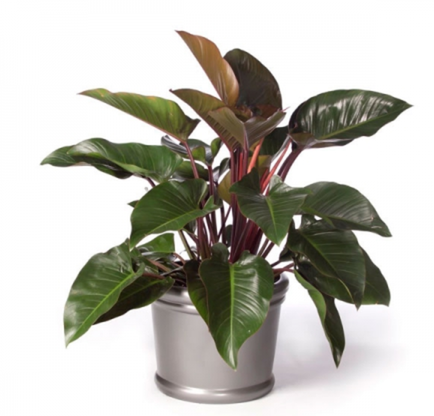 Philodendron.png