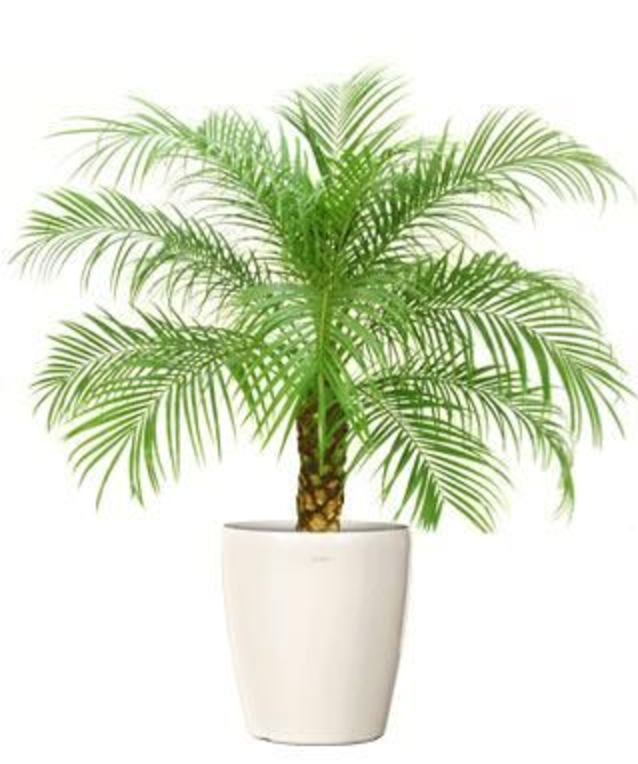 Pigmy_Date_Palm.png