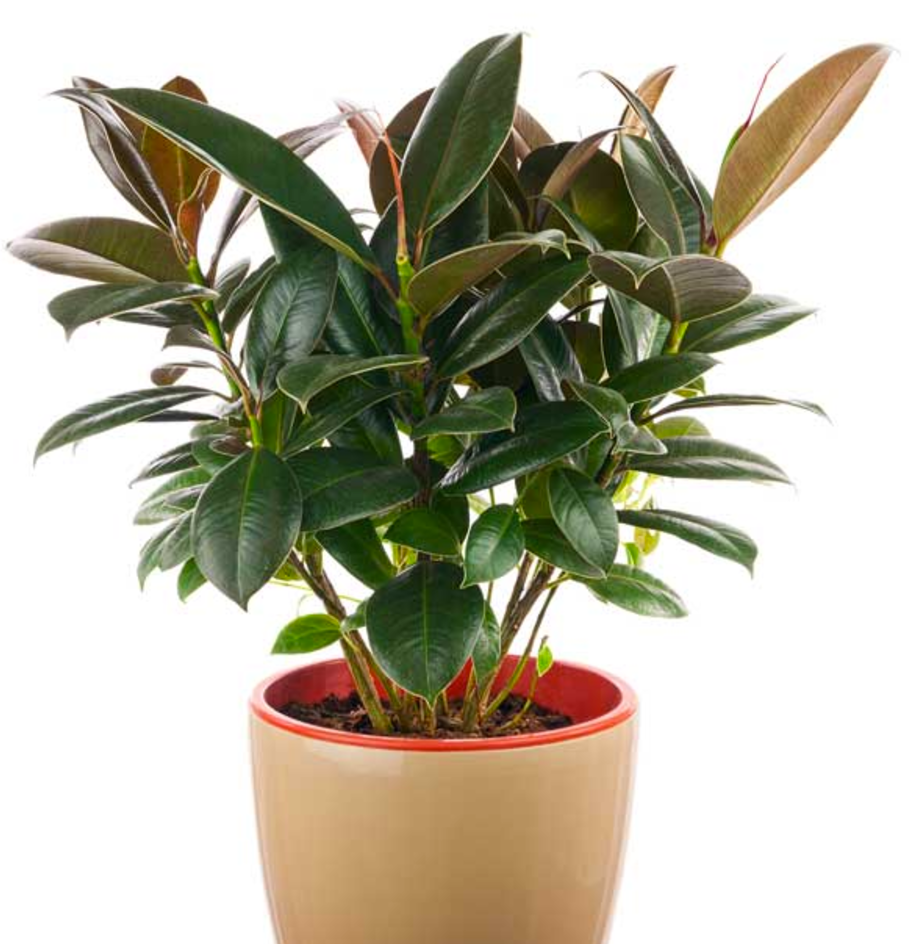 Rubber_Plant.png