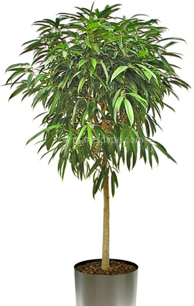 Ficus_Alii.png