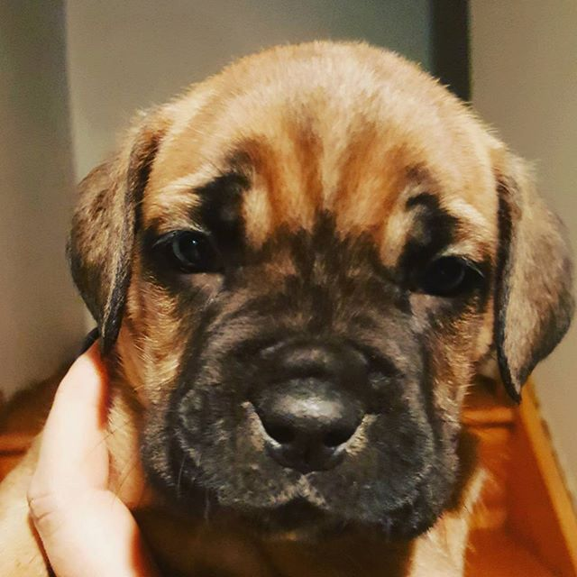 We have puppies available #canecorso#corso#italianmastiff #italiano #mastifflove #canecorsopuppy #canecorsopuppiesavailable #dogs #corso #corsolovers