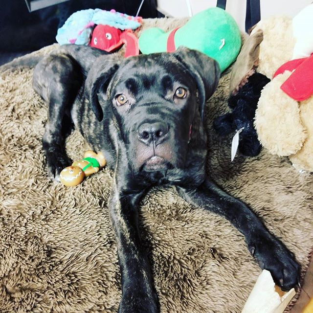 Fiona Gallagher is so photogenic @emmyrossum # Canecorso #dog# Italianmastiff #lovedogs #corsopuppy #canecorsopuppiesavailable #canecorsolovers