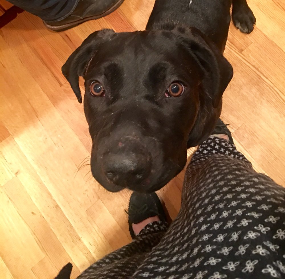 Snoopy-   Male  2 years old  Cane Corso  Black  Neutered  Up to date on shots  ICCF Registered  Good with female dogs, loyal, lovable