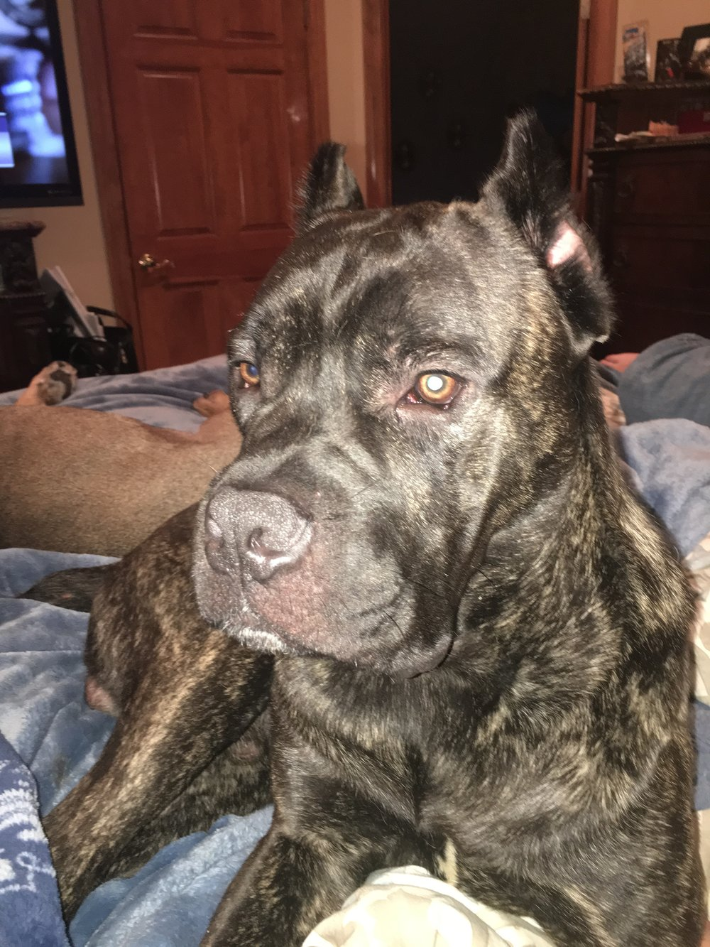 Coopertini-   Male  2 1/2 years old  Cane Corso  Black Brindle  Neutered  Up to date on shots  Playful, great with female dogs, and sweet