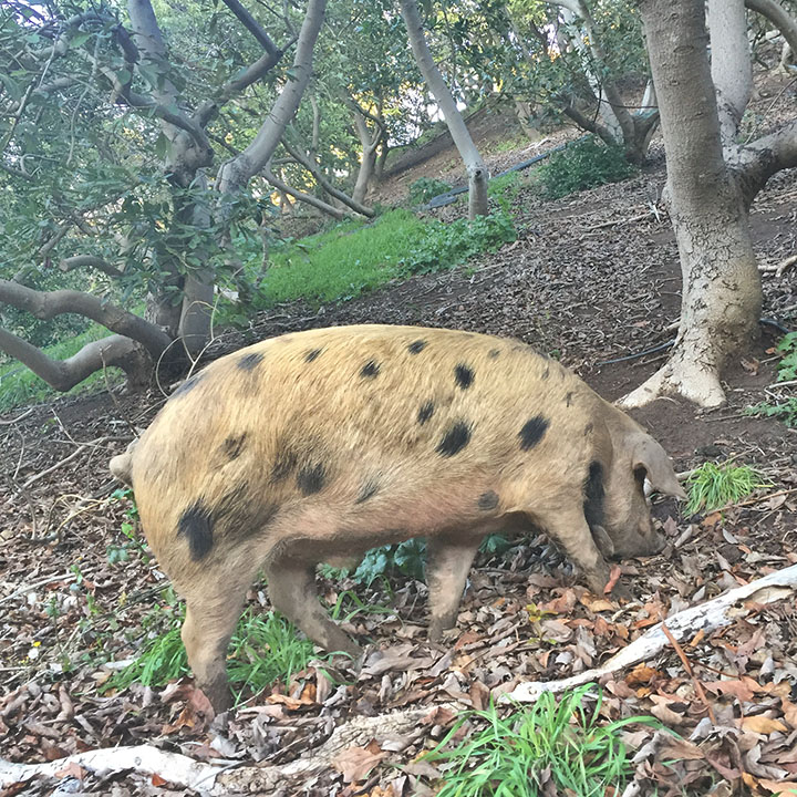 pig in orchard