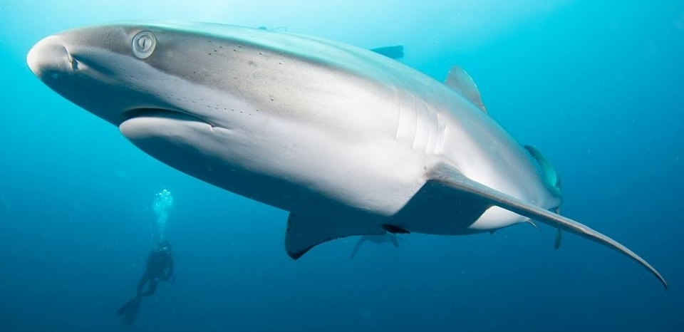 SHARK DIVING AND SNORKELING EXPERIENCES - LEARN MORE ABOUT THESE AMAZING ANIMALS UP CLOSE AND PERSONAL