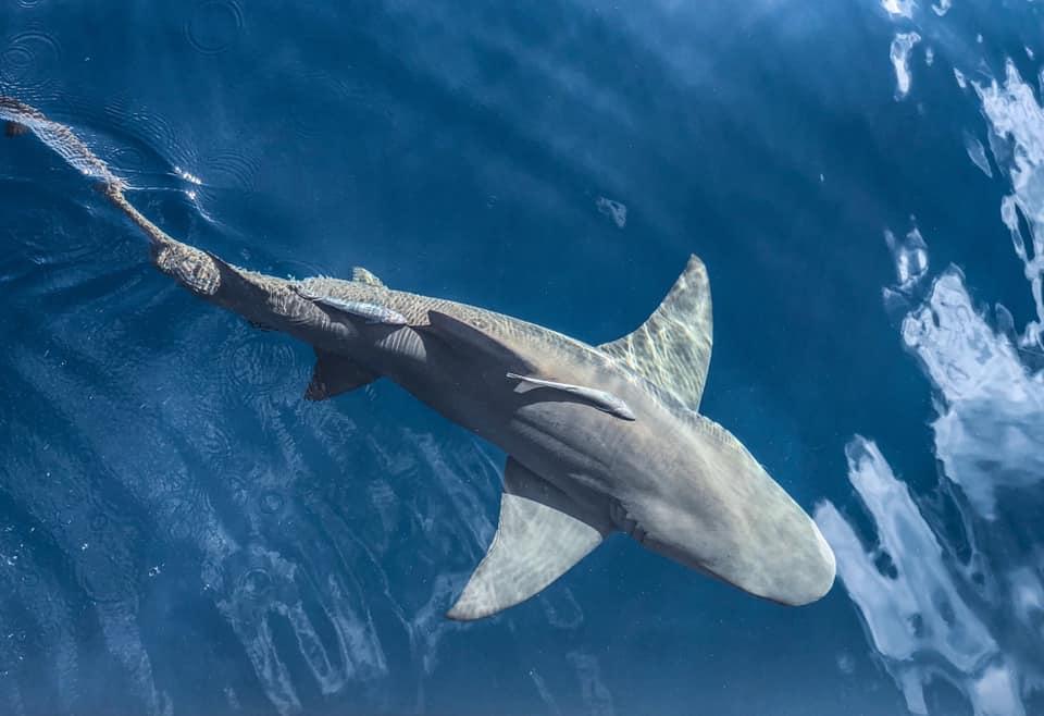 pp shark.jpg
