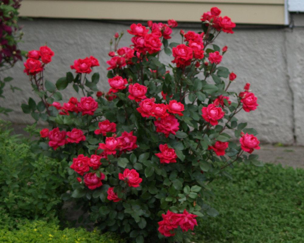 Knock Out Roses Beebe Landscape Design
