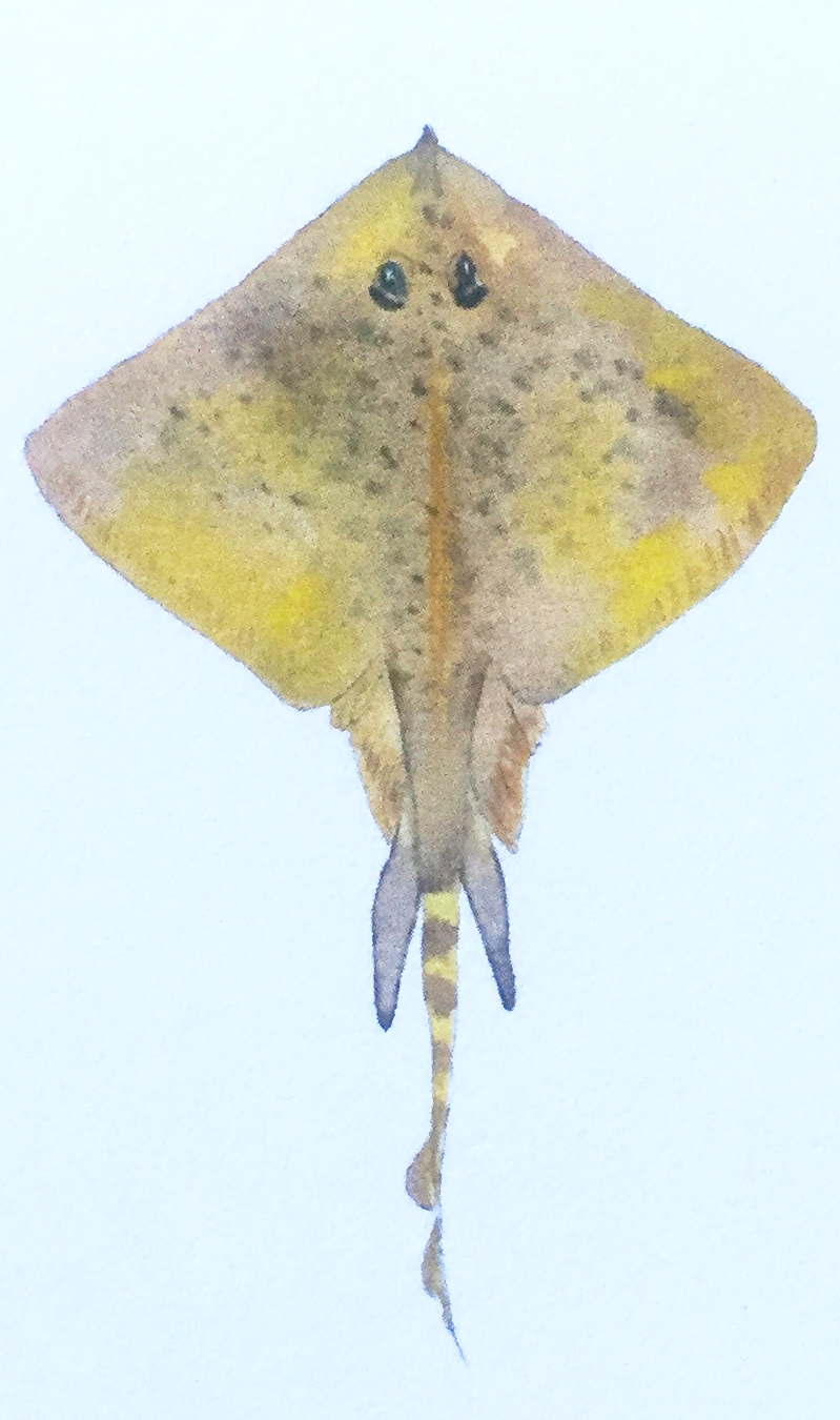 Skate ( Raja  sp.) Lia Cary Watercolour