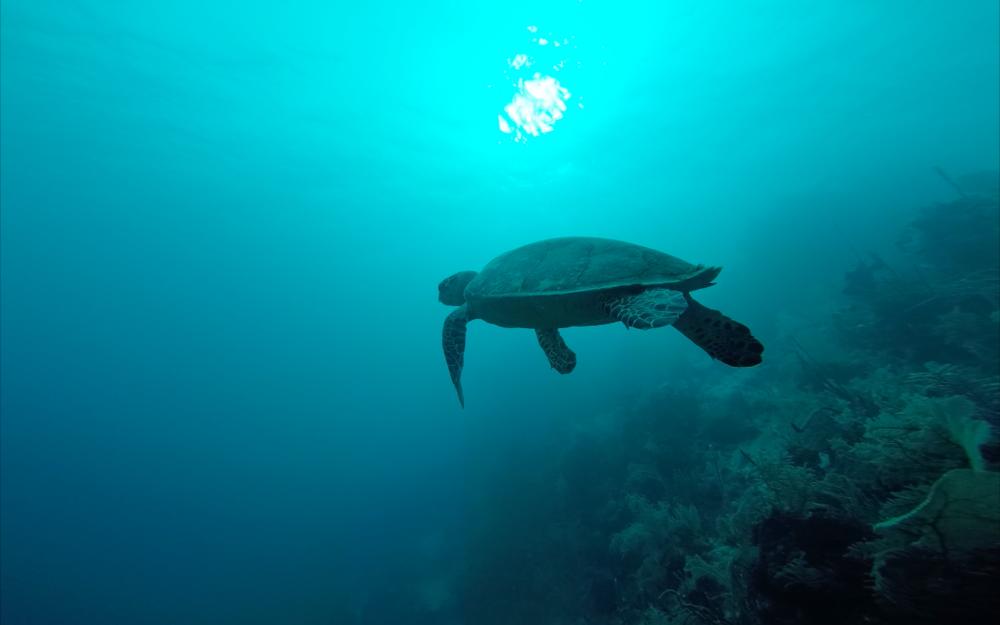 Hawksbill Turtle - Honduras 2017