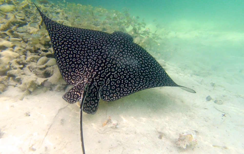 Eagle Ray - Eleuthera 2015