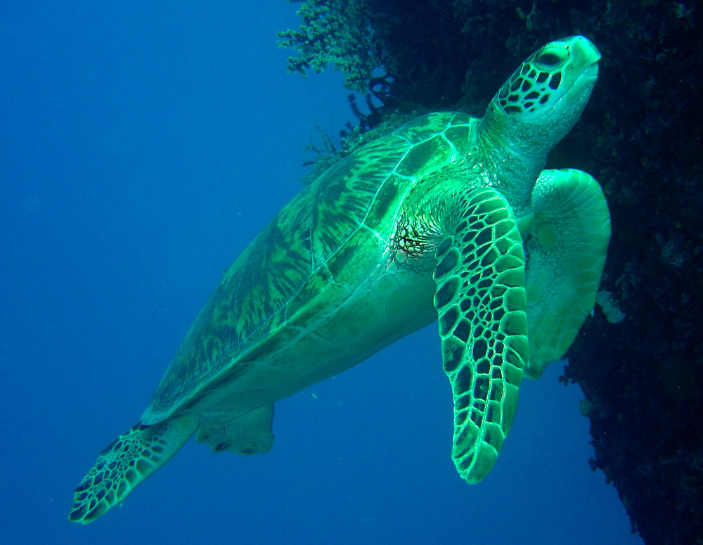 Green Turtle - Great Barrier Reef 2007