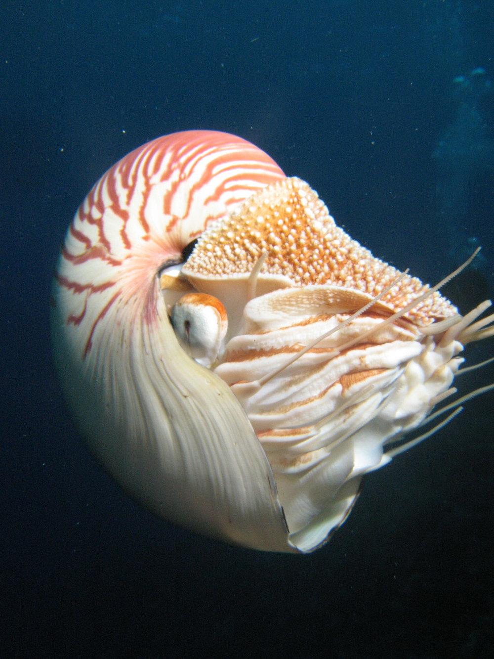 Nautilus - Osprey Reef, Coral Sea 2007