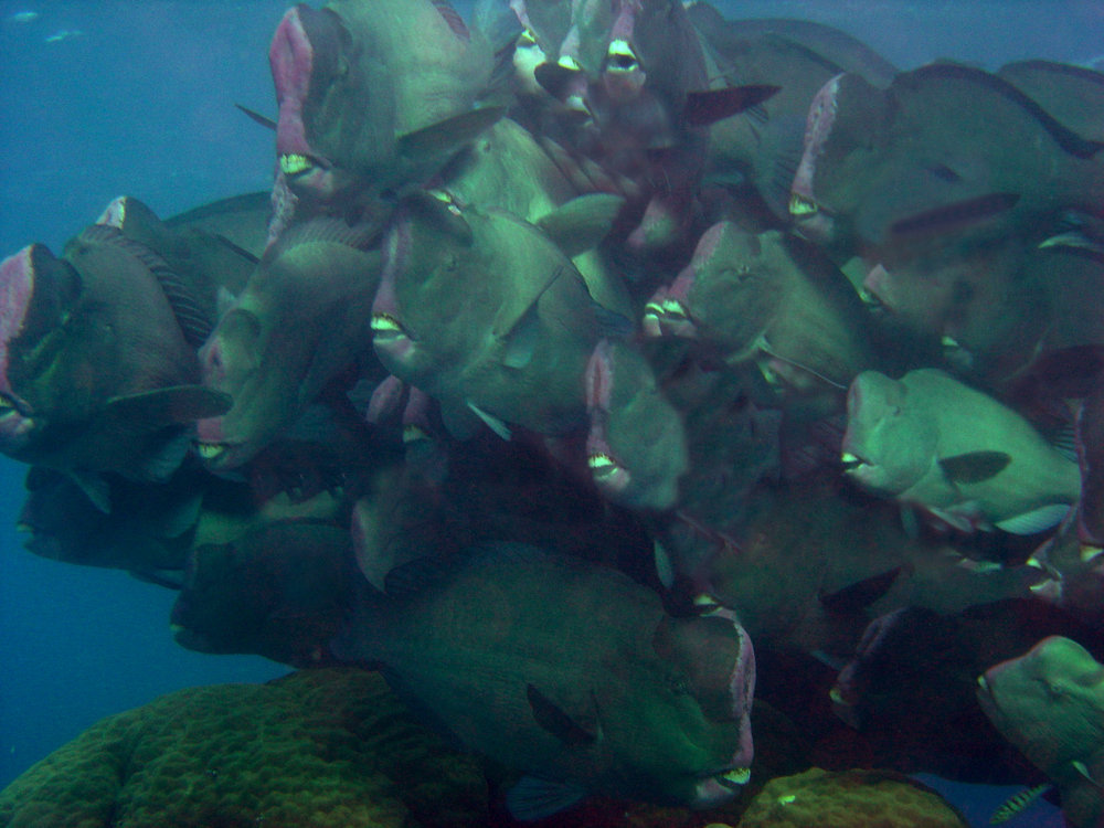 Bumphead Parrot Fish - Great Barrier 2007