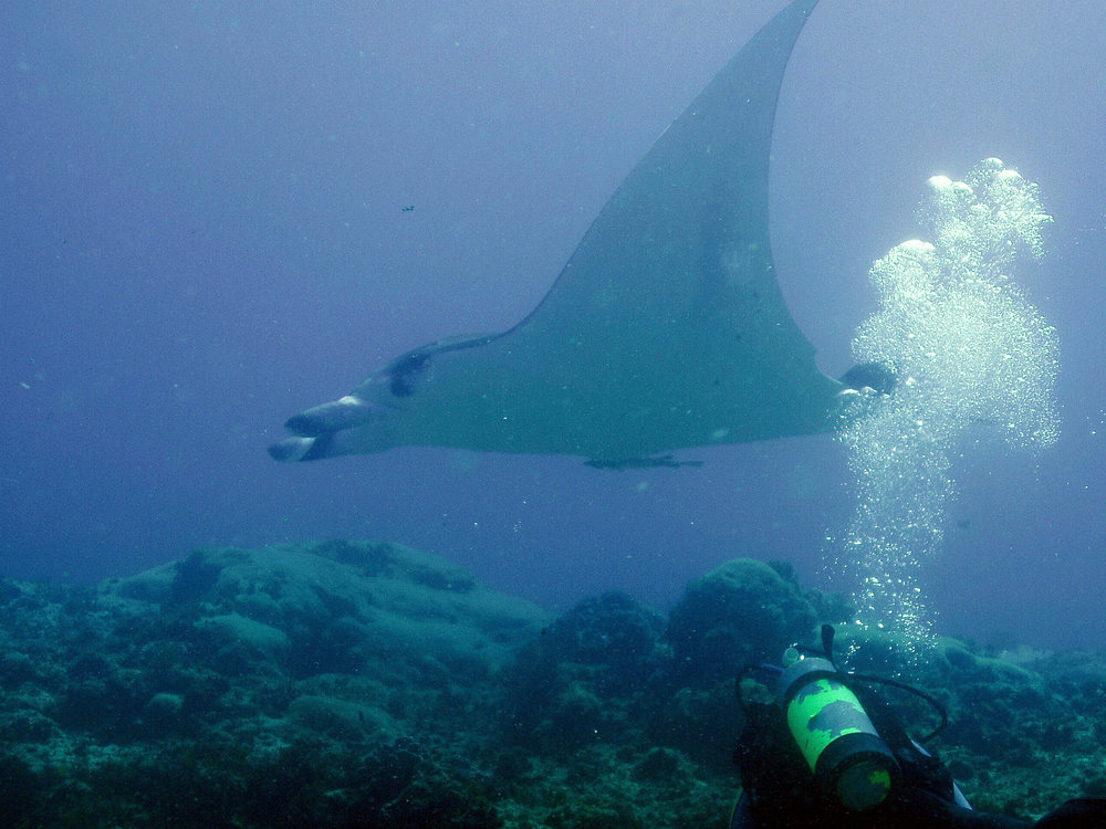 Manta Ray - North Stradbroke Island 2005
