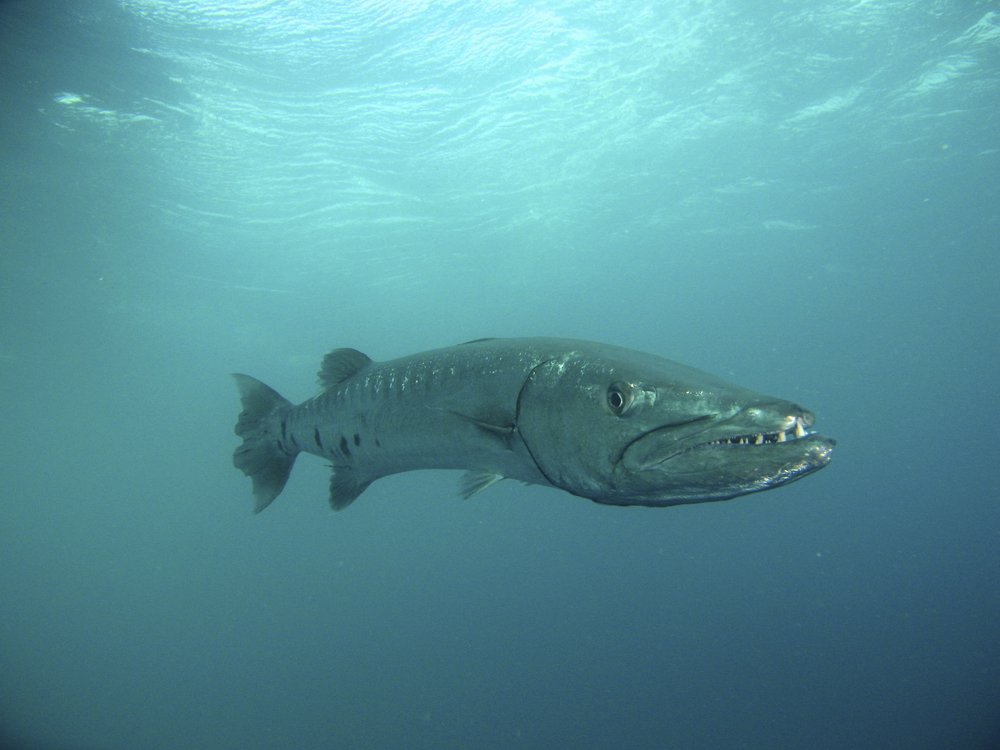 Giant Barracuda - Great Barrier 2007