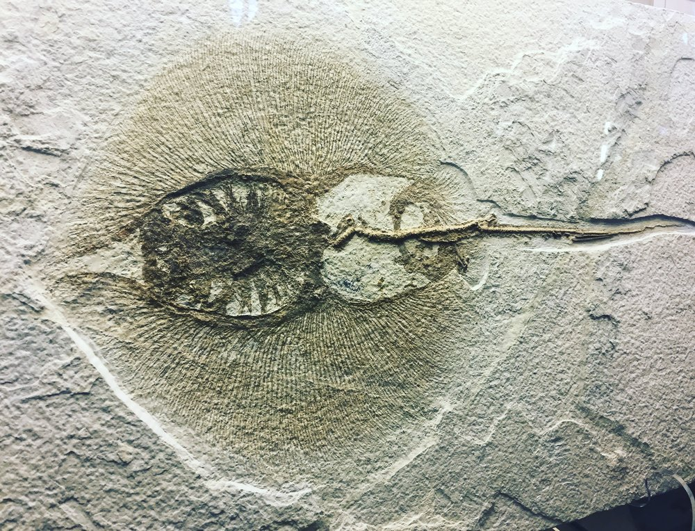 50 Million year old stingray fossil