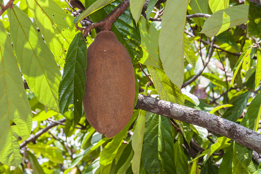 Cupuaçu pod on a tree