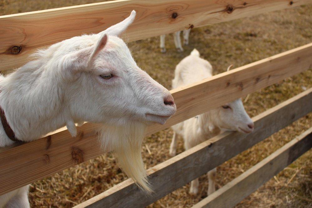 goat-1807298_1920.jpg