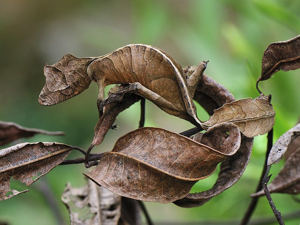 Satanic leaf-tailed gecko. Photo by Piotr Naskrecki via  Wired.