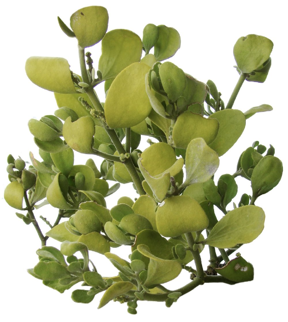 One of the many varieties of Mistletoe