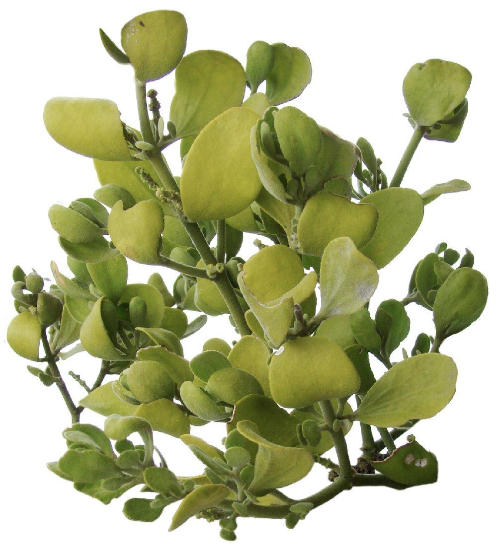 One of the many varieties of Mistletoe