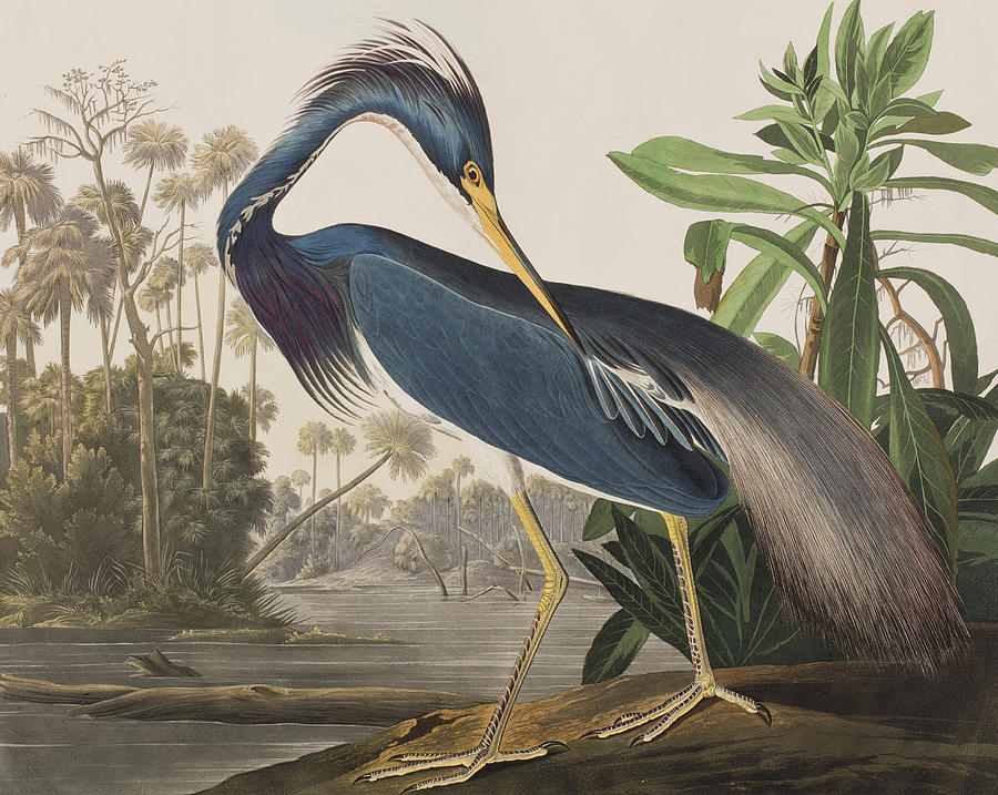 2-louisiana-heron-john-james-audubon.jpg