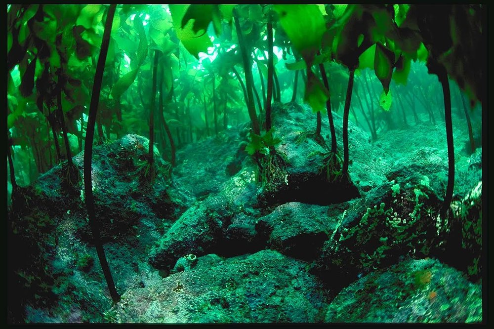 kelp_forest_15_4.jpg