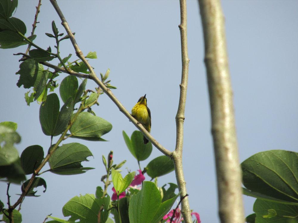 Olive-backed sunbird - Borneo, Malaysia 2018